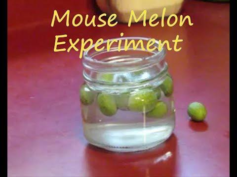 Mouse Melon Pickle Experiment