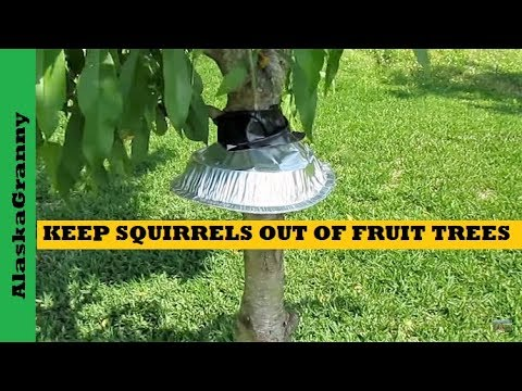 How To Keep Squirrels Out Of Fruit Trees