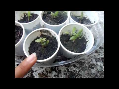 Growing Dragonfruit and Prickly Pear Cacti from Seeds