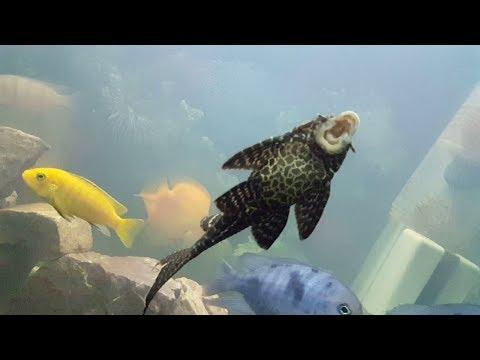 Sucker Fish Cleaning Fish Tank