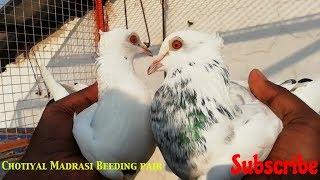 Ghar ka Madrasi kabootar nikal gya 2 din bad lote by Raza