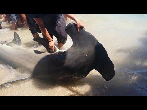 Florida Giant 13 Foot Hammerhead Shark! (FULL VIDEO)