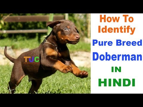 How to Check Pure Doberman Pinscher Breed In Hindi | Know Your Breed In hindi | The Ultimate Channel