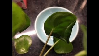 Curly Leaves on Pilea Peperomioides? No Worries!