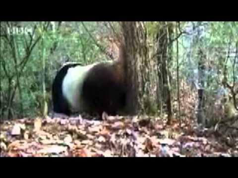 The Giant Panda Bear Part 1: Adaptations
