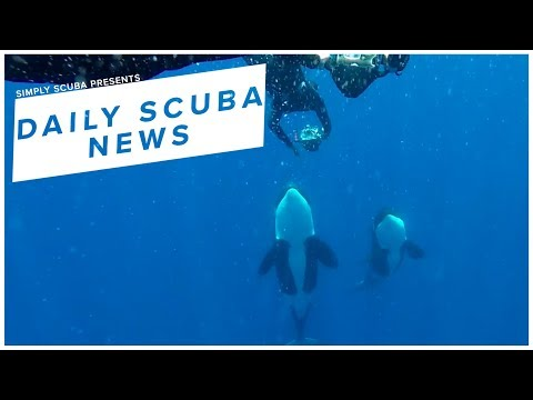 Daily Scuba News - Orcas Interact With Freedivers In Rare Encounter