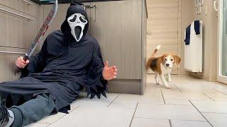 Dogs vs Ghostface Scream PRANK : Funny Beagle Dog Reactions