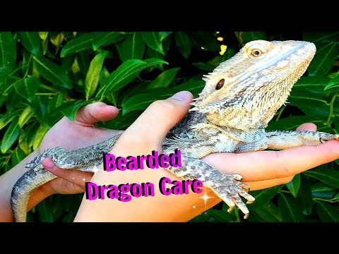 How to care for a bearded dragon