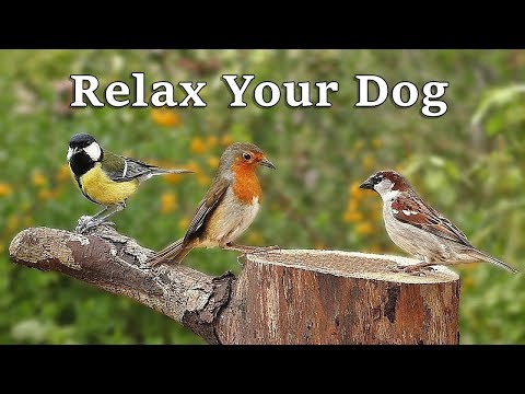 Calm Your Dog TV : Dog Relaxation for Separation Anxiety - Garden Birds and Bird Sounds