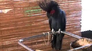 Kakak Tua Raja Download Mp3 Mp4 3GP HD Video