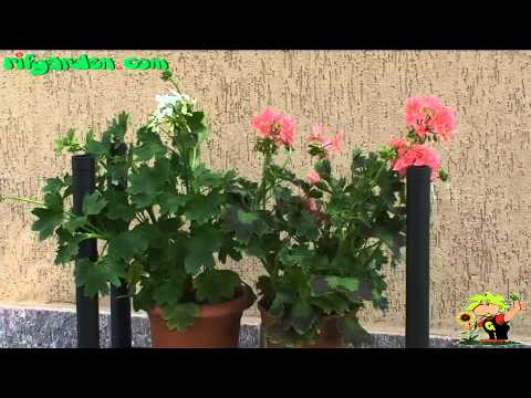 Care of geraniums