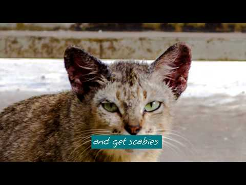 Cat Scabies Treatment with Ointment Penyakit Kulit Kucing kerak di telinga