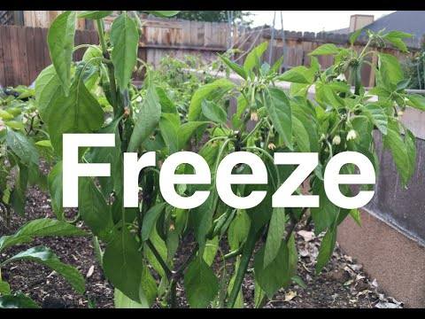 How are the Peppers After 31º Frost