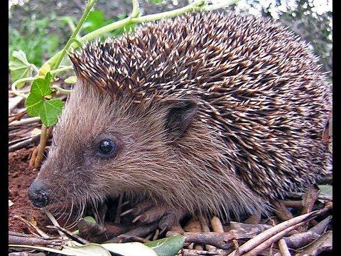 Hedgehog in my  garden.