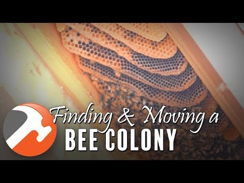 Finding & Moving a Bee Colony In My Shed