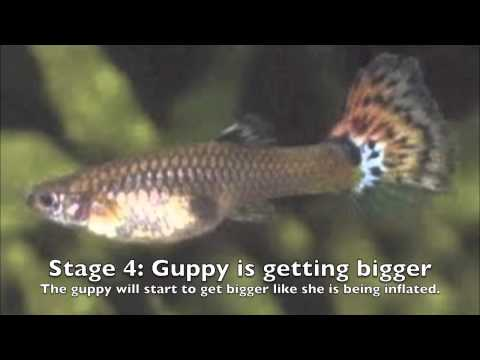 Stages of a Guppy's Pregnancy