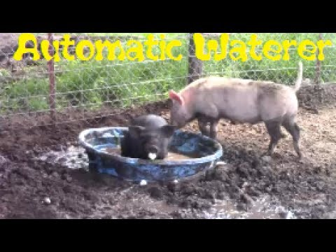 BEST Way To Water Pigs