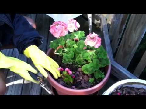 Plant Geraniums & Begonias in Container! #howtoplant #containergardening