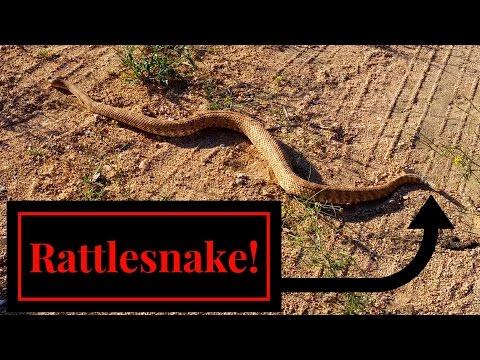 Bearded Dragon Owners // Rattlesnake!