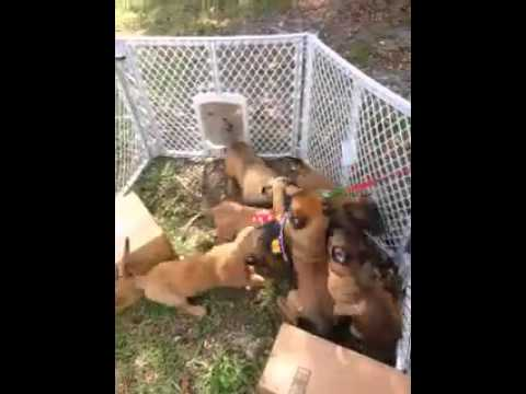 AKC Registered Belgian Malinois Puppies for Sale