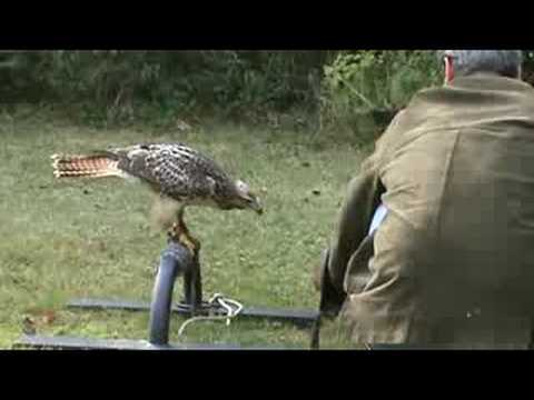 Red-tailed hawk jumps to the fist for the first time