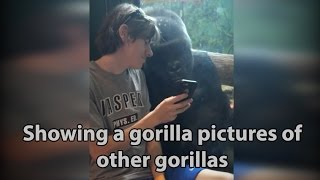 He showed a gorilla photos of other gorillas. Watch his reaction! (Before Harambe & Zola!)