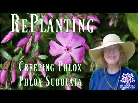 Planting Phlox subulata Creeping Phlox - I had it in containers for years!