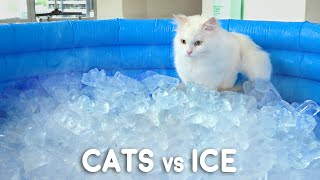 Can Cats Walk On Ice?
