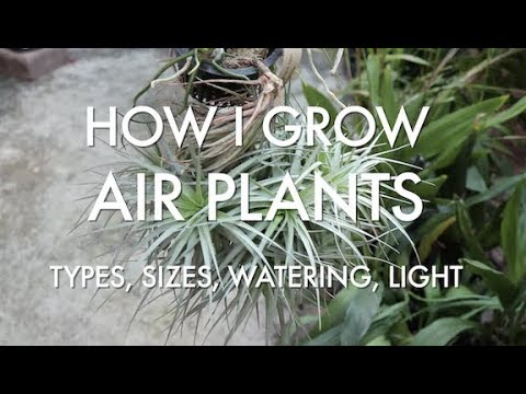 How I Grow Air Plants - Types, Sizes, Watering, Light