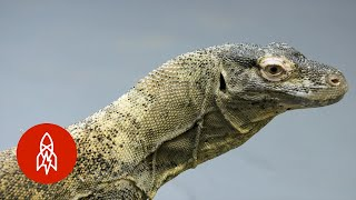 Behold (and Beware) the Largest Lizards on Earth