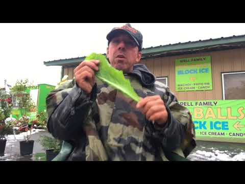 Louisiana Man Eating a Bunch of Mustard Greens Raw in Winter Snow