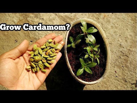 GROW CARDAMOM PLANT FROM SEEDS? (WITH RESULT) || WILL KITCHEN SEEDS GROW?