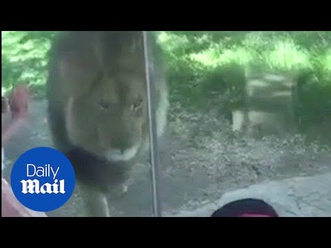 King of the jungle: Lion marks his territory in front of shocked boy - Daily Mail