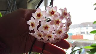 Hoya carnosa Houseplant with an abundance of BEAUTIFUL blooms