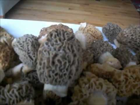 Morel Mushrooms  HOW TO and WHERE TO