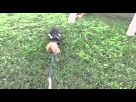 Qutter Doberman puppy bite work