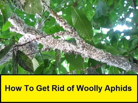 How To Get Rid of Woolly Aphids