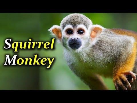 Squirrel Monkey For Sale    Cutest Squirrel Monkeys    Wonderful Squirrel Monkey    Birds Market