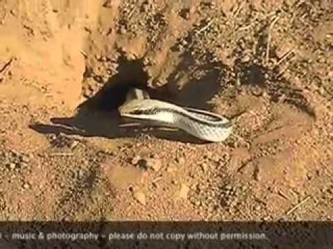 Snake Digging Hole June 2012.mov