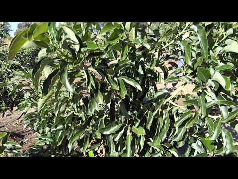 GEM Hass Avocado Tree