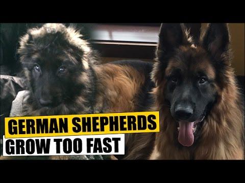German Shepherds Grow Too Fast