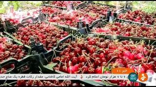 Iran Cherry picking, Khomein county برداشت گيلاس شهرستان خمين ايران