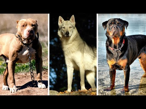 7 Most Banned and Dangerous Dogs Around the World