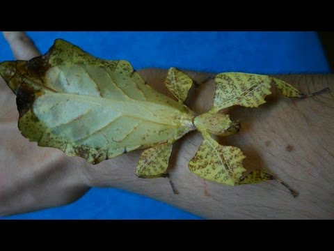 Big stick insect - LIVING LEAF! (P. ericoriai) [Inferion7]