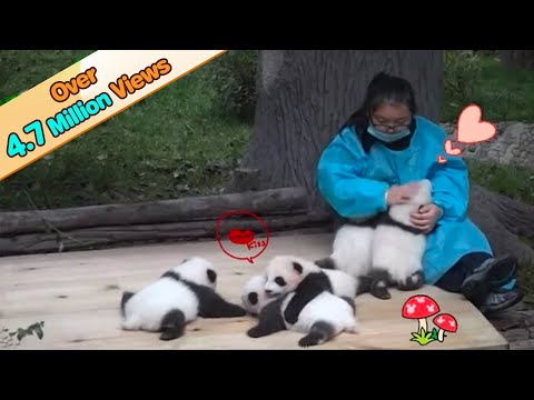 5 panda cubs receiving love from keeper