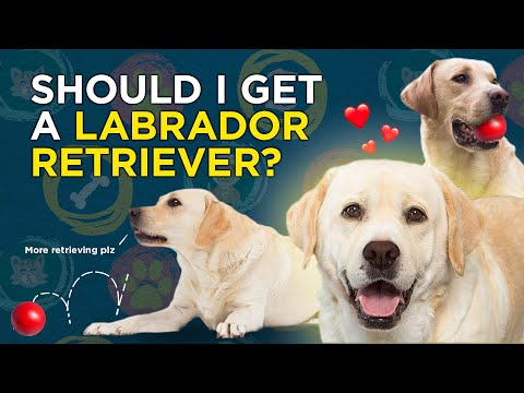 Is a Labrador Retriever Right for You? How to choose the best dog for you and your family.