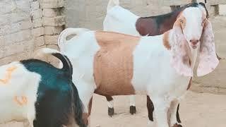 45 | Bakra Mandi 2018/2019 | Video in Urdu/Hindi with Goat
