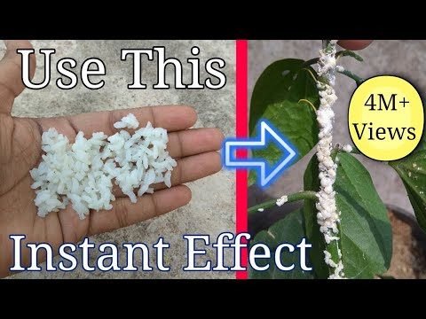 How to get rid of white mealybugs using organic pesticide