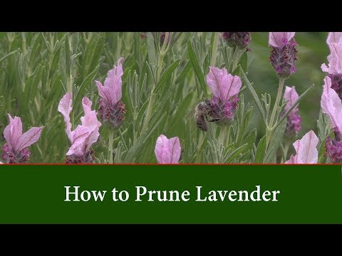 How to Prune Lavender by Cutting Back in Spring