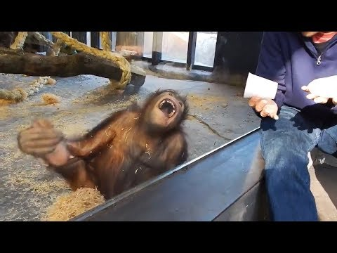 Xxx Mp4 Magician Has An Orangutan In Splits 3gp Sex